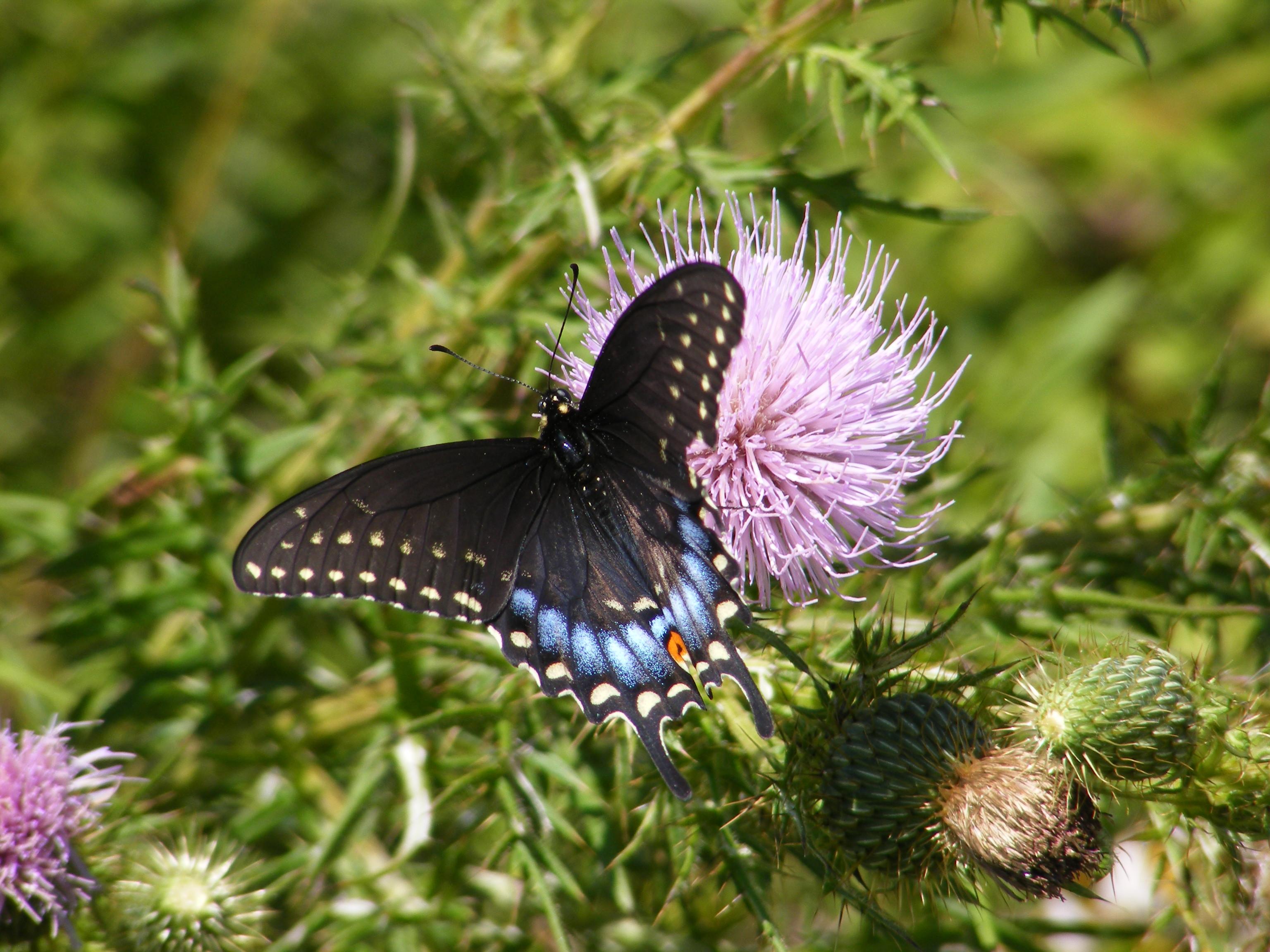 Black Swallowtail ...