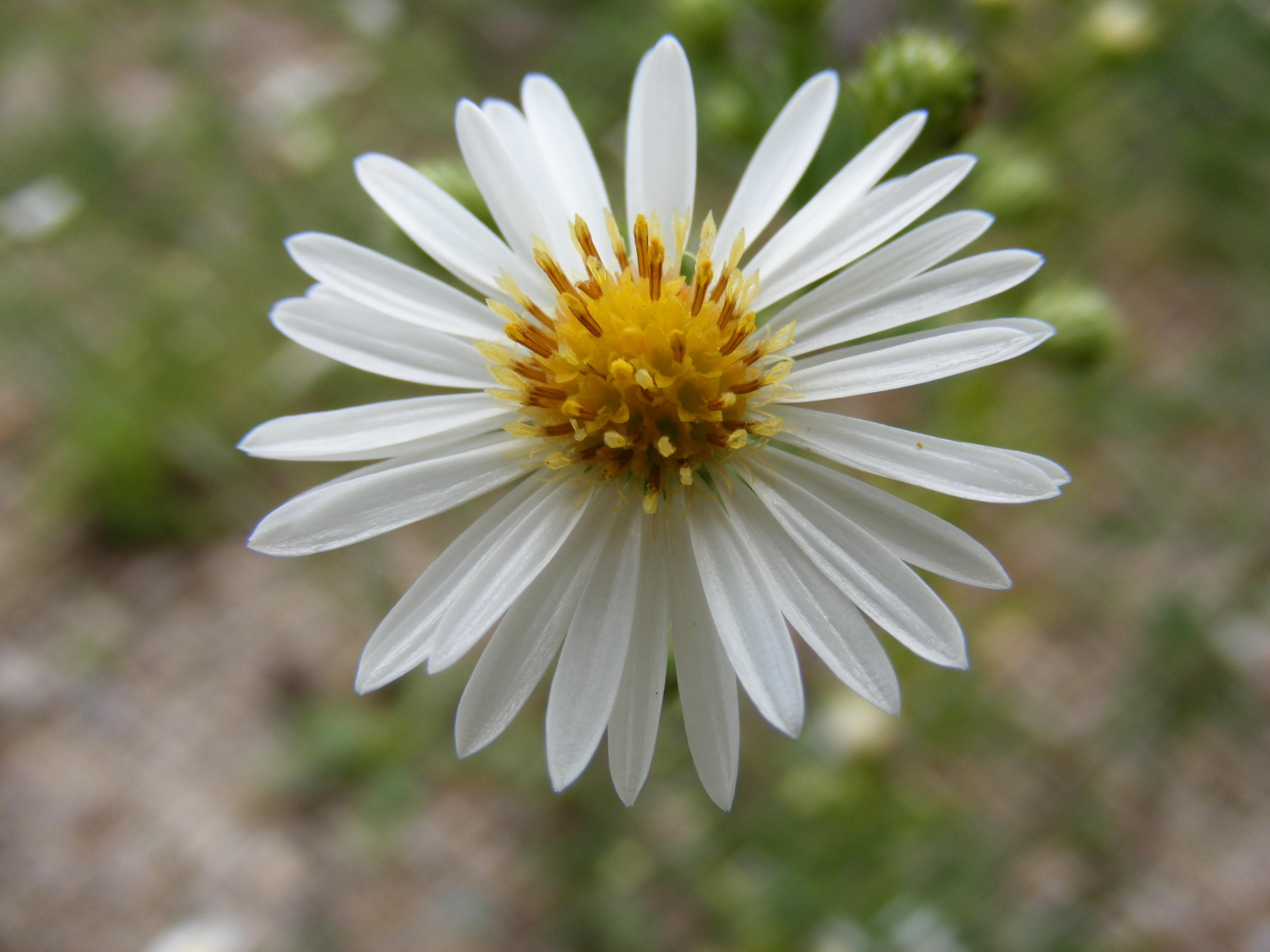 white aster flower  flower, Beautiful flower
