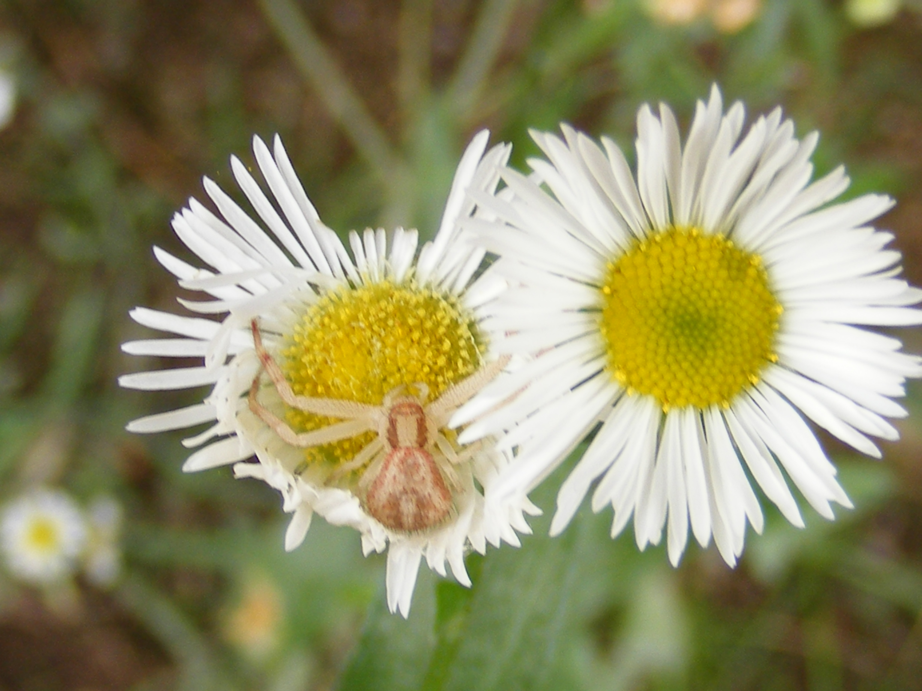 Plant insect arachnid interaction flower crab spider waiting for a flower crab spider family thomisidae waiting for a delicious insect to approach this eastern daisy fleabane flower erigeron annuus izmirmasajfo