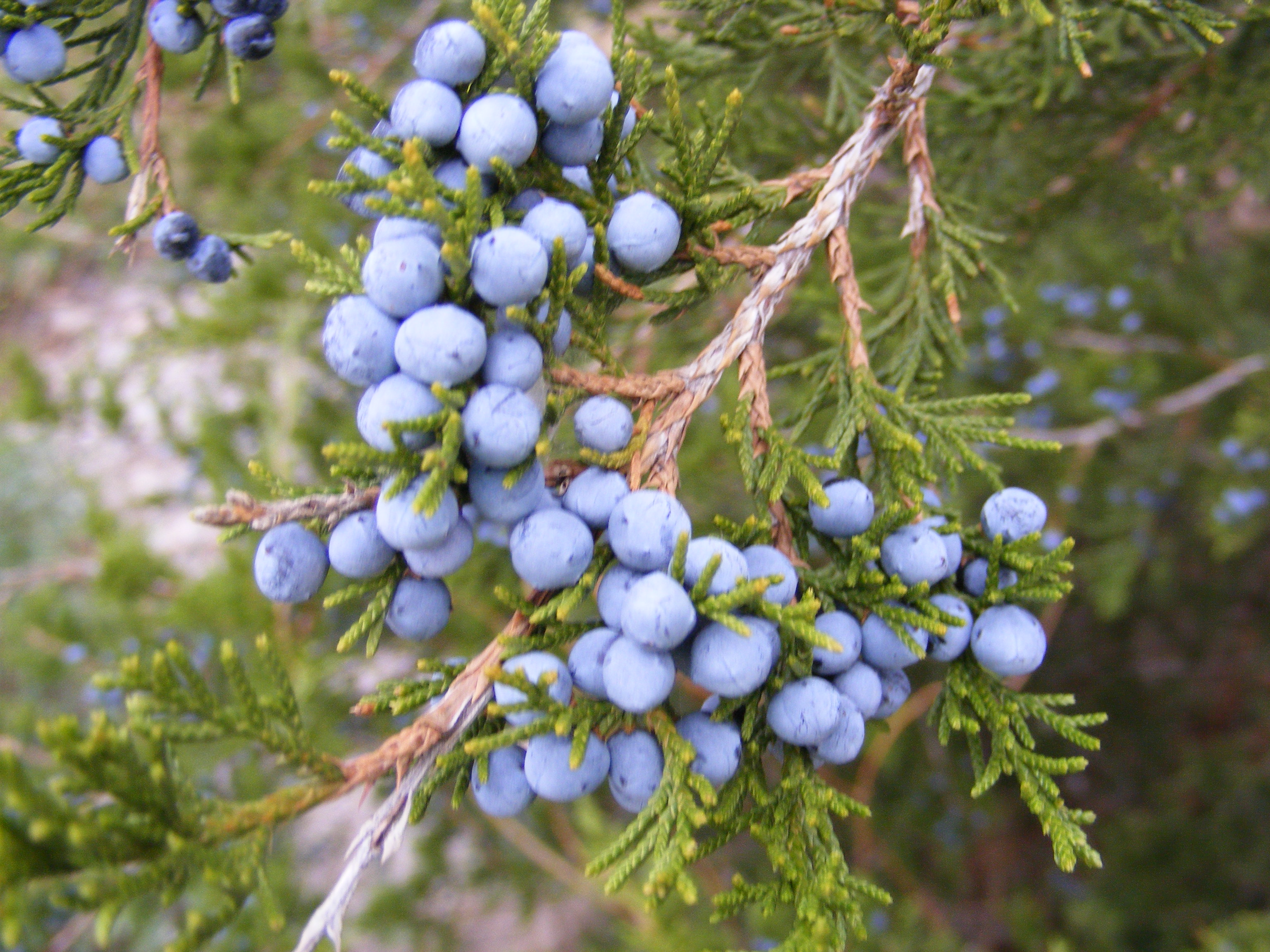 Random plant eastern juniper the life of your time for The juniper