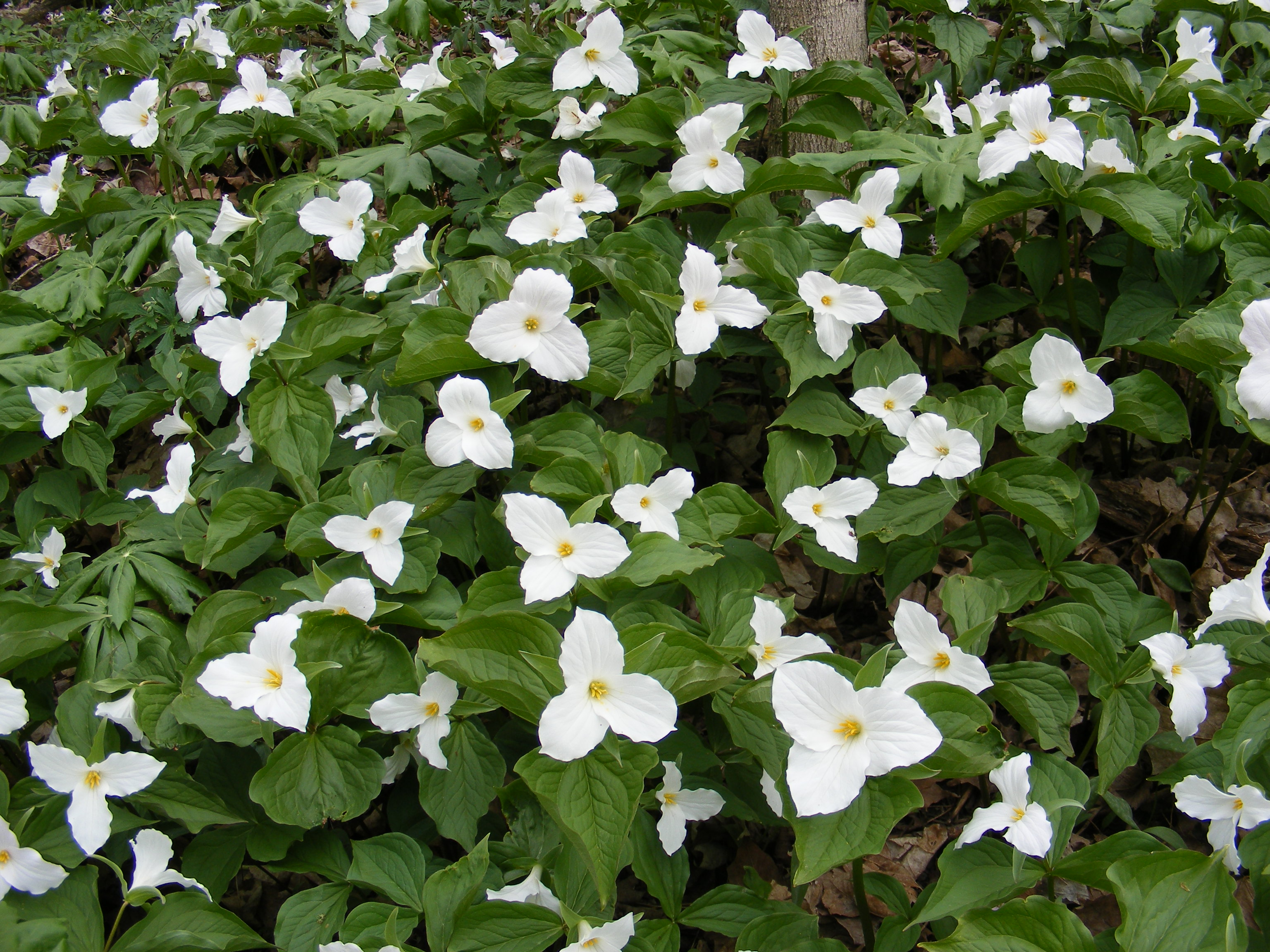 Random Plant White trillium