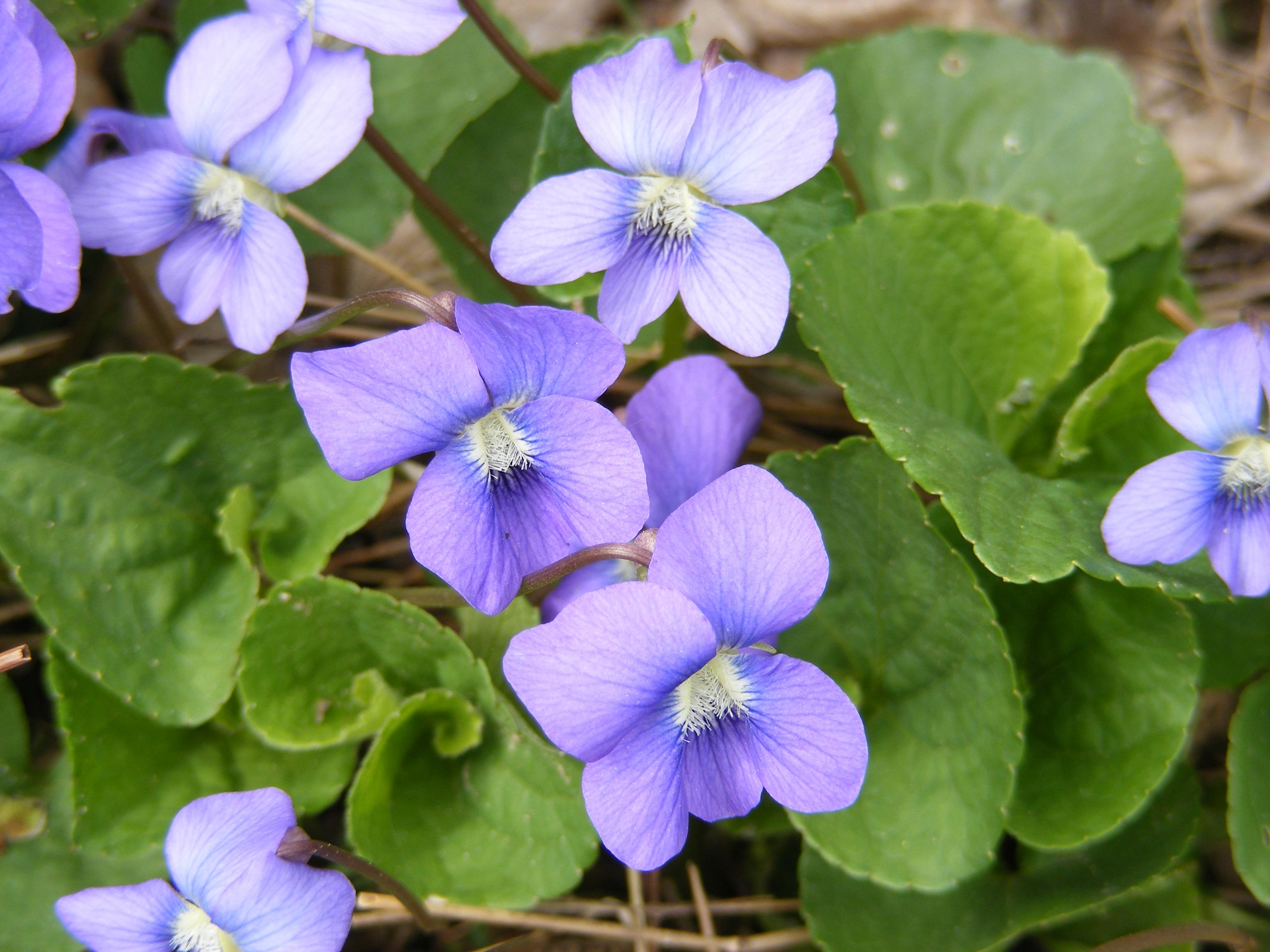 Various - Wild Violets