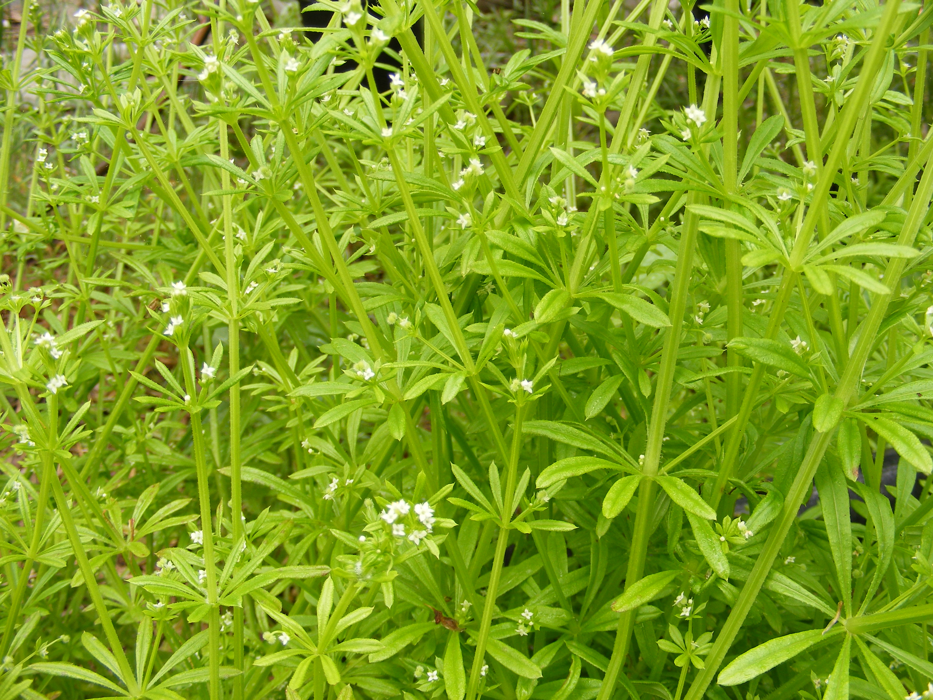 Random Plant: Cleavers/stickywilly/catchweed bedstraw | The Life of ... Zoology Pictures Animals