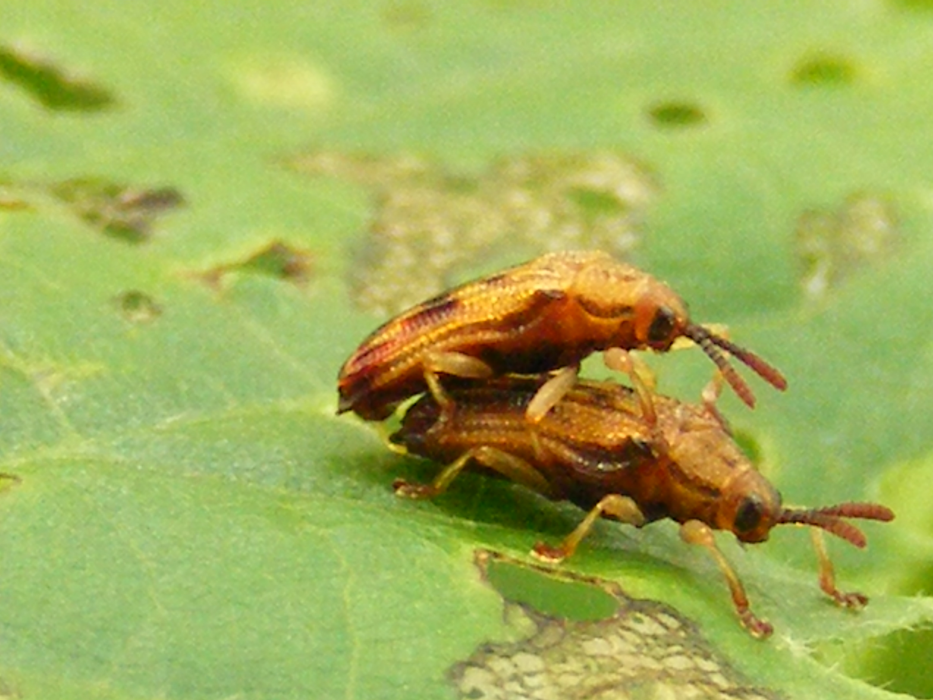 Plant-Insect Interaction: Basswood leaf mining beetles on an