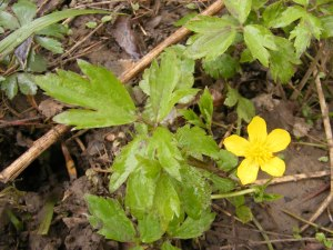 Random Plant Swamp Buttercup The Life Of Your Time