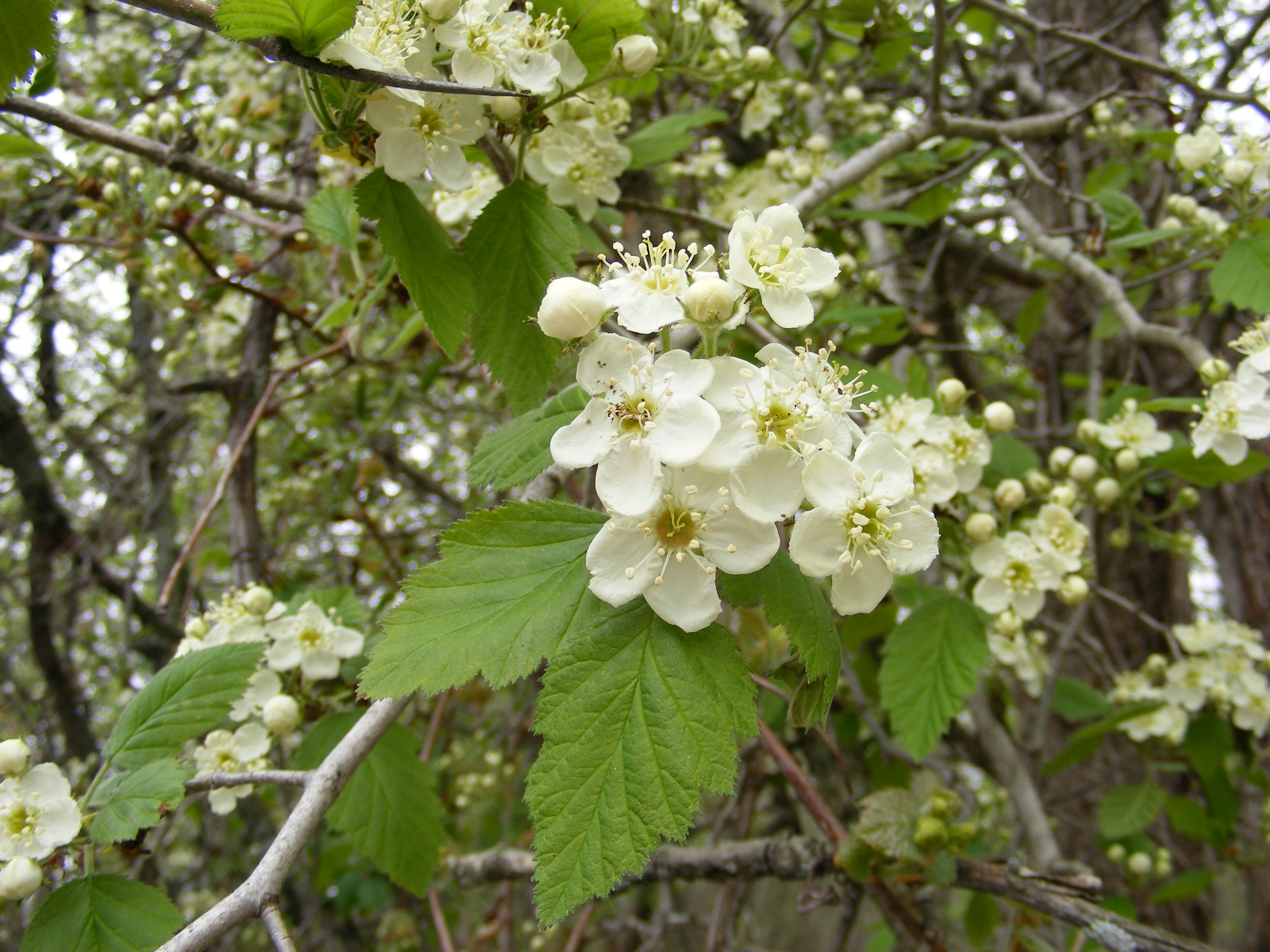 Random Plant Hawthorn The Life Of Your Time