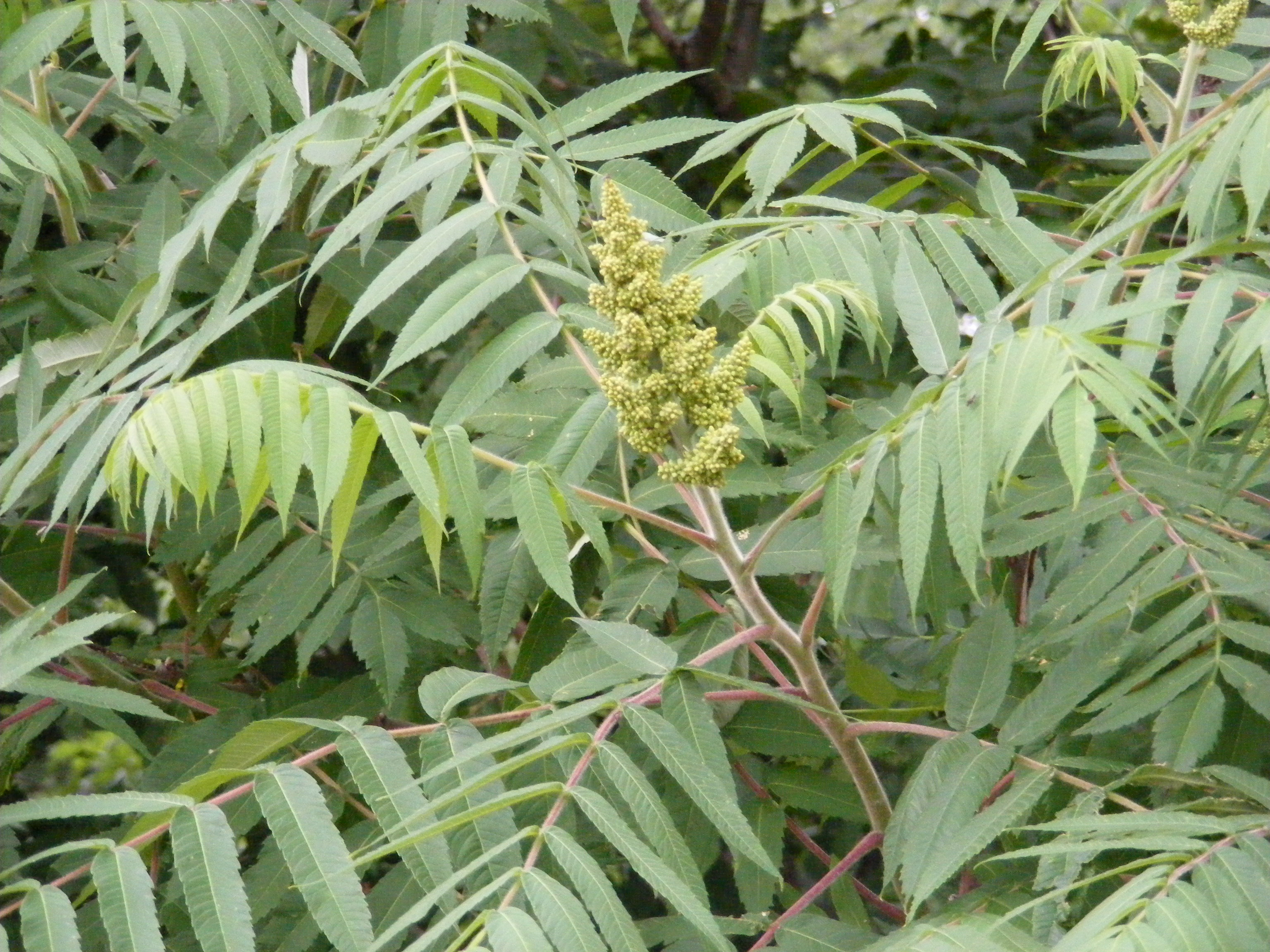Random Plant Staghorn Sumac The Life Of Your Time