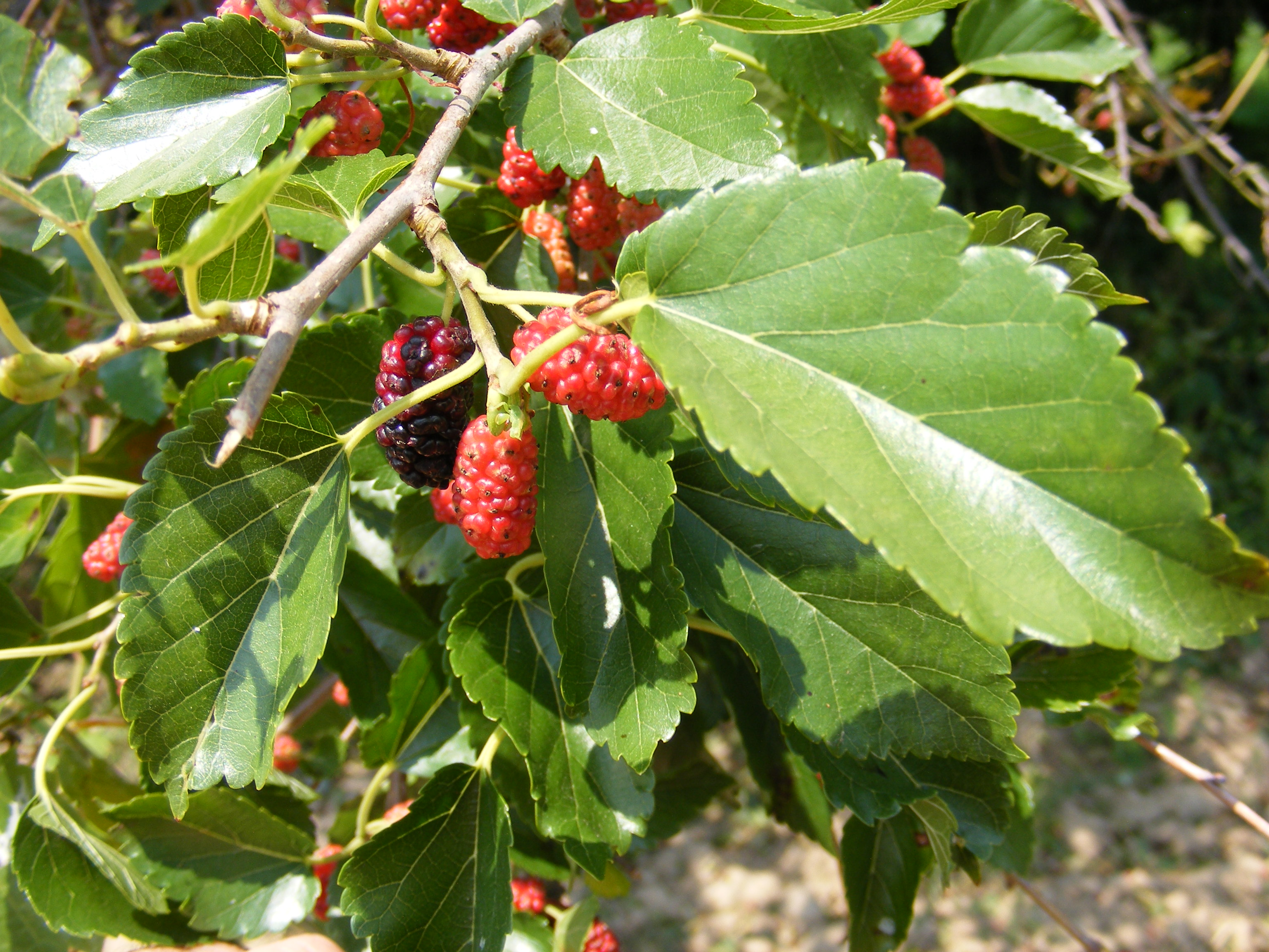 Random Plant Red Mulberry The Life Of Your Time