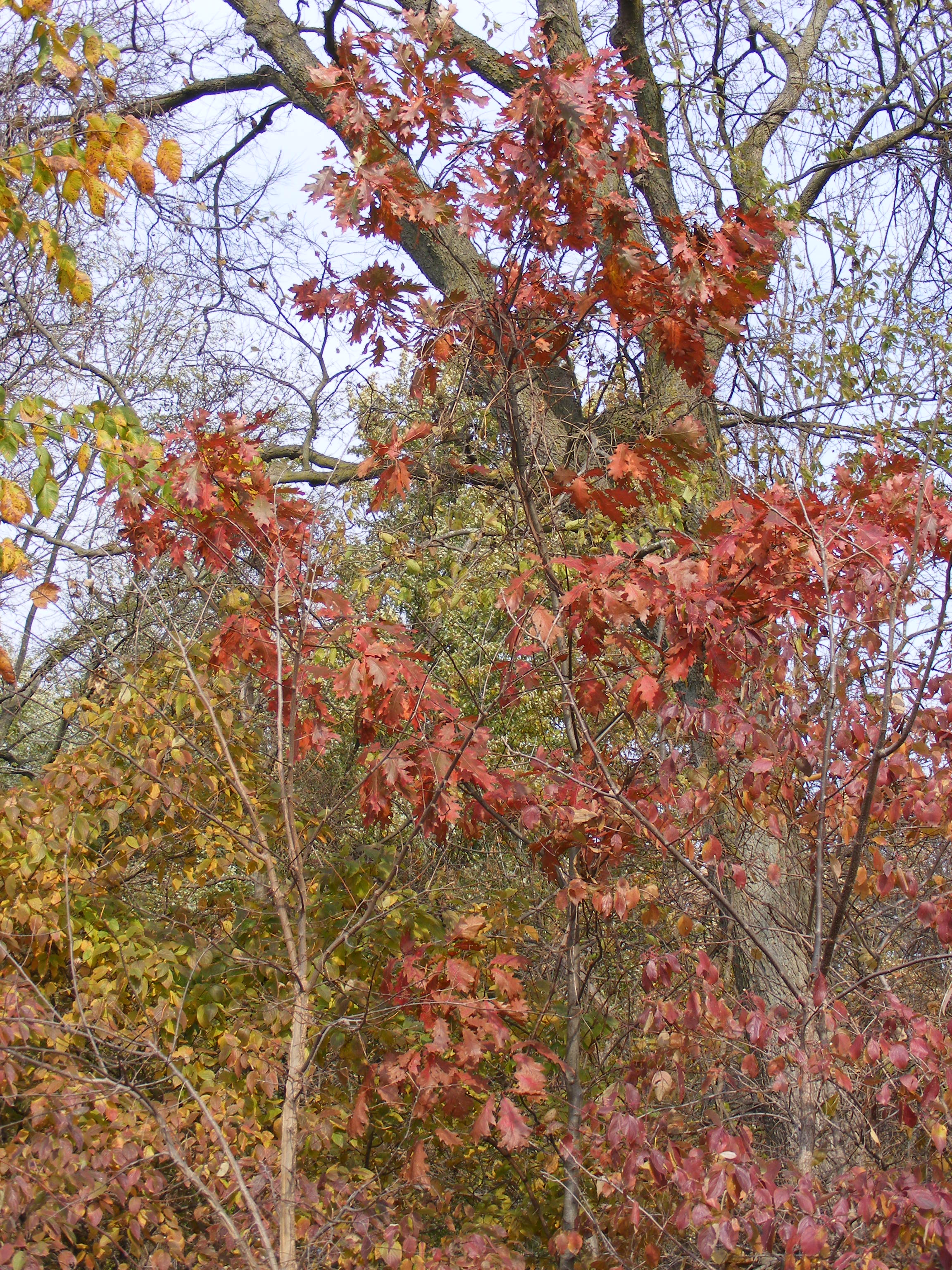 Northern Red Oak ~ Random plant northern red oak revisited the life of