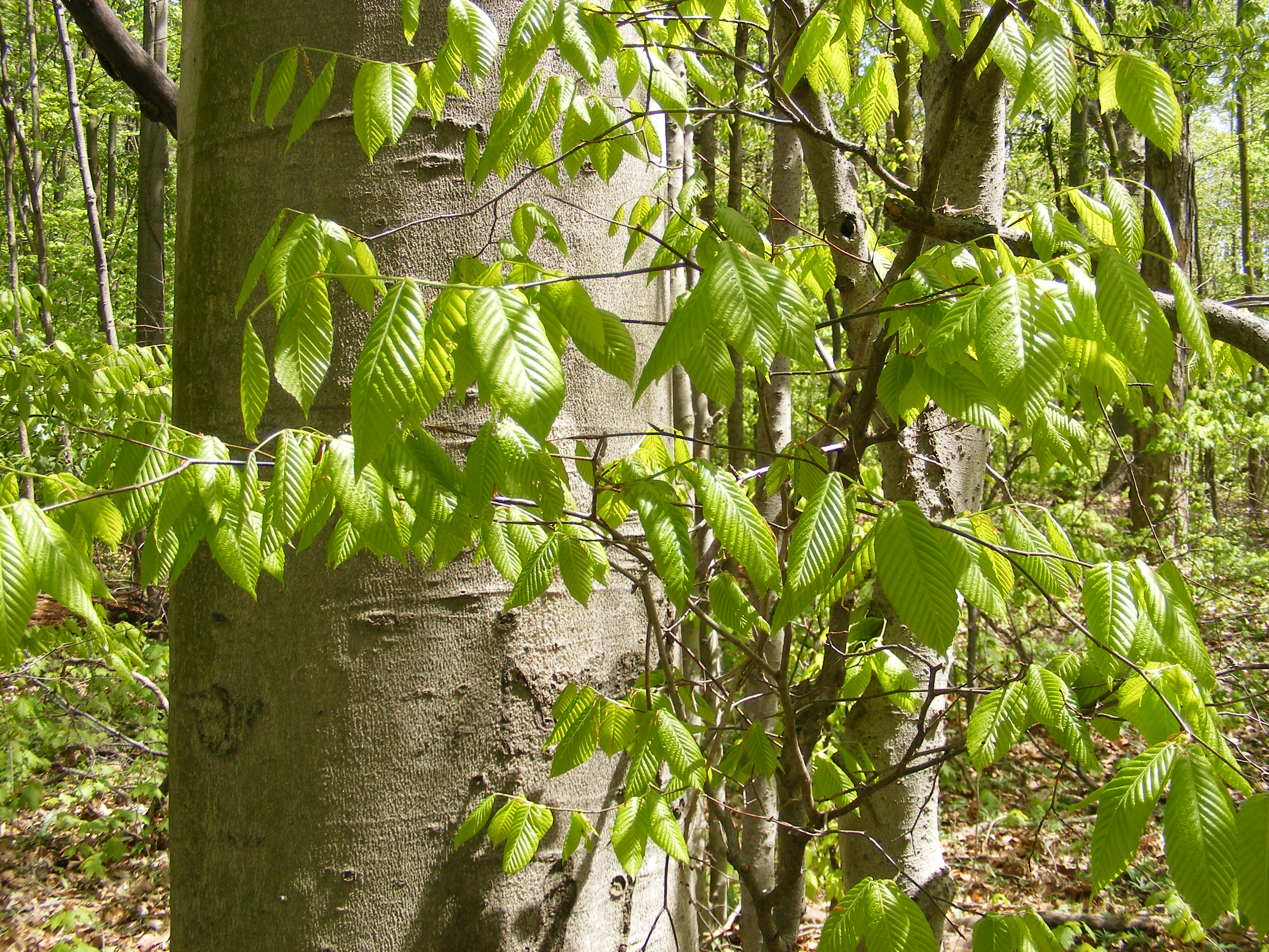 Beech tree Beech Tree: Pictures, Photos, Images, Facts on Beech American beech tree pictures
