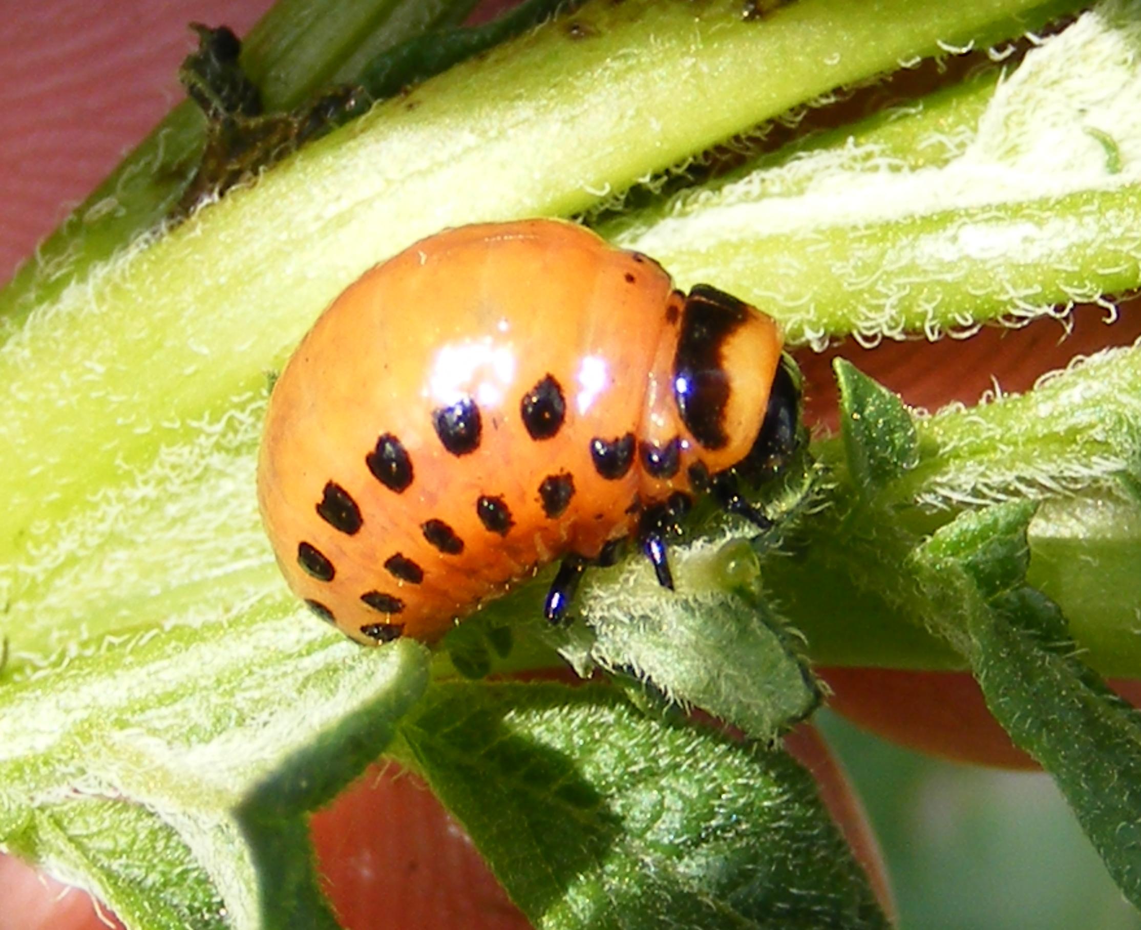 Plant-Insect Interaction: Colorado potato beetle larvae ...