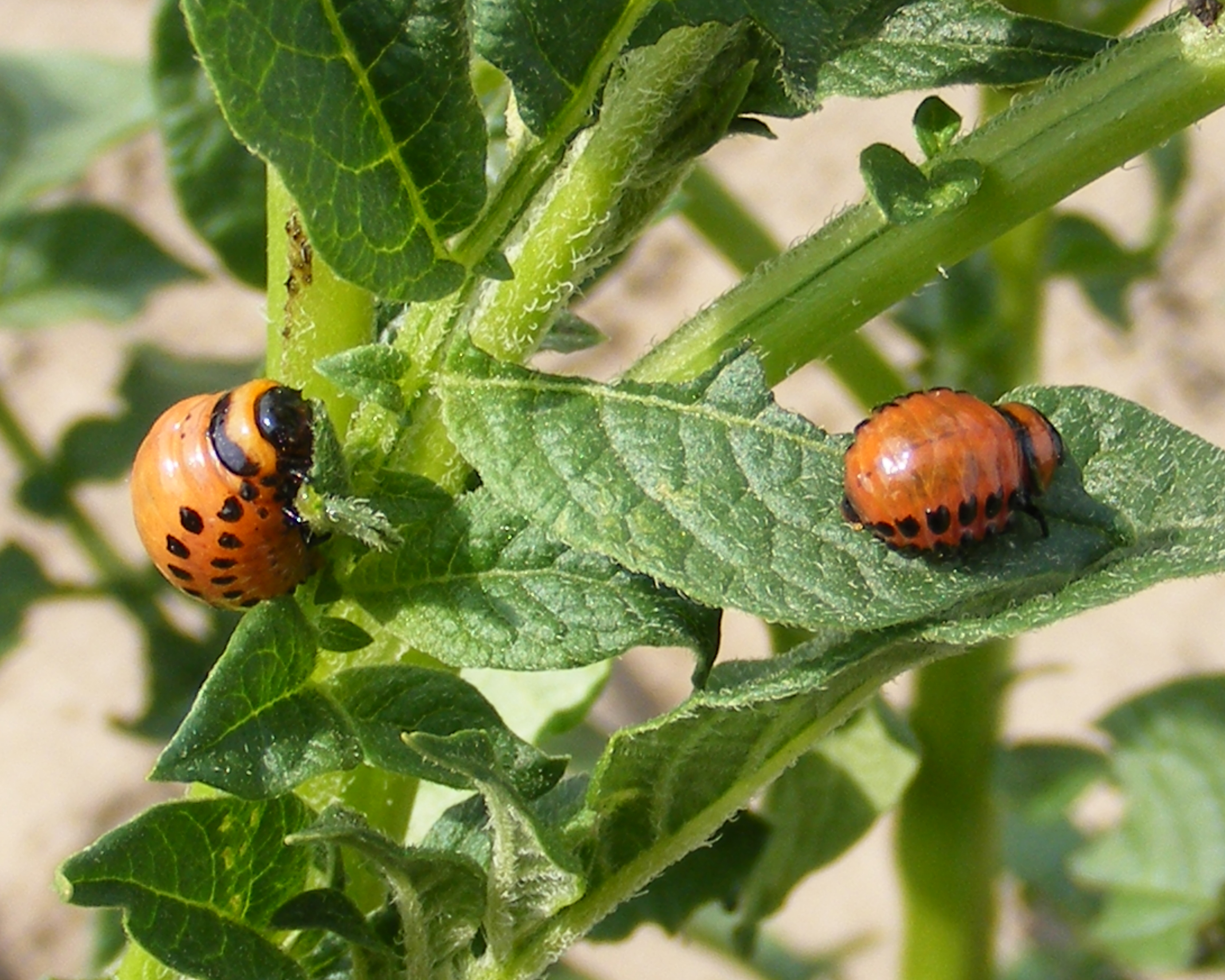 Plant Insect Interaction Colorado Potato Beetle Larvae Feeding On Potatoes The Life Of Your Time