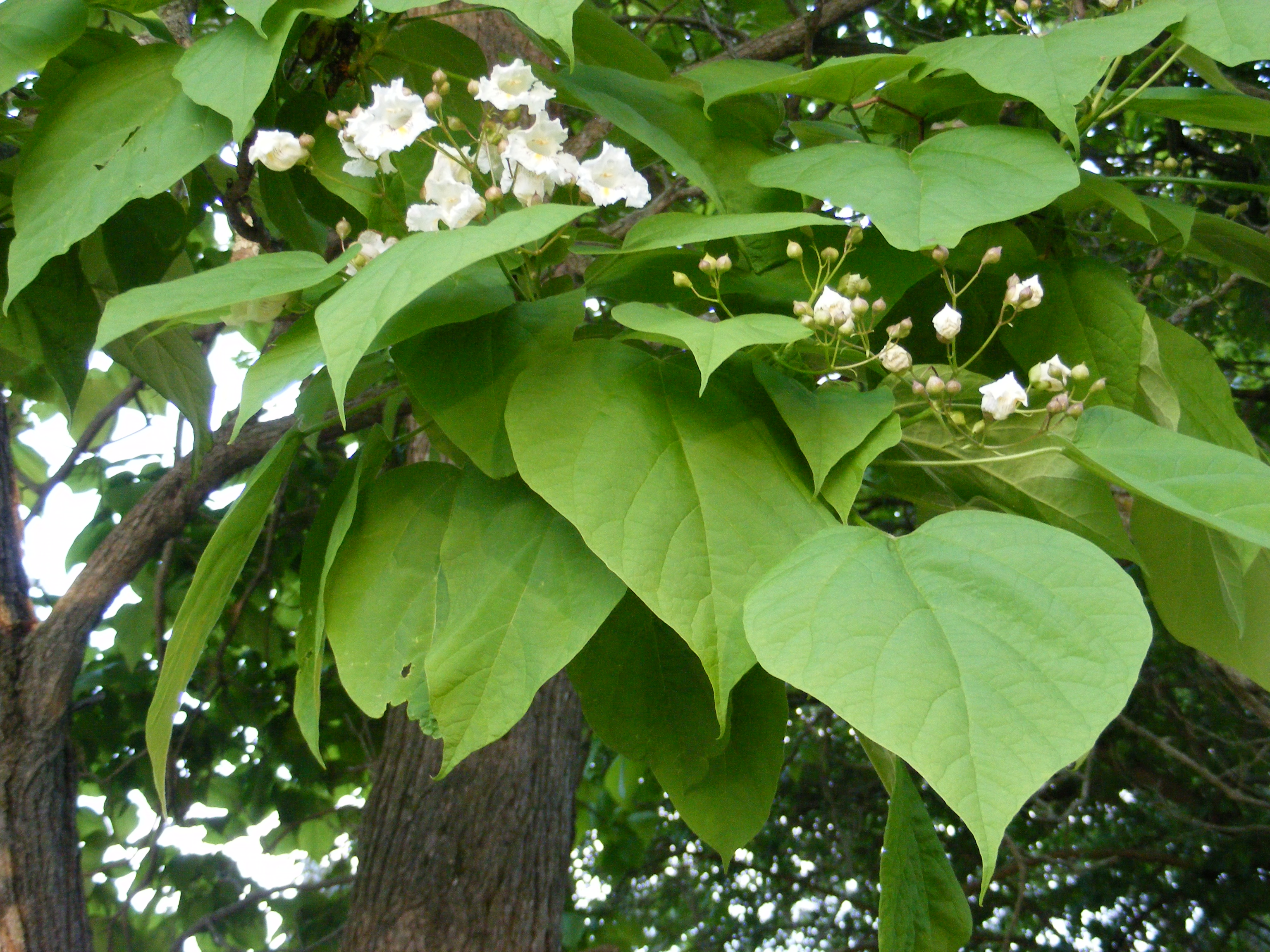 Random Plant Northern Catalpa The Life Of Your Time
