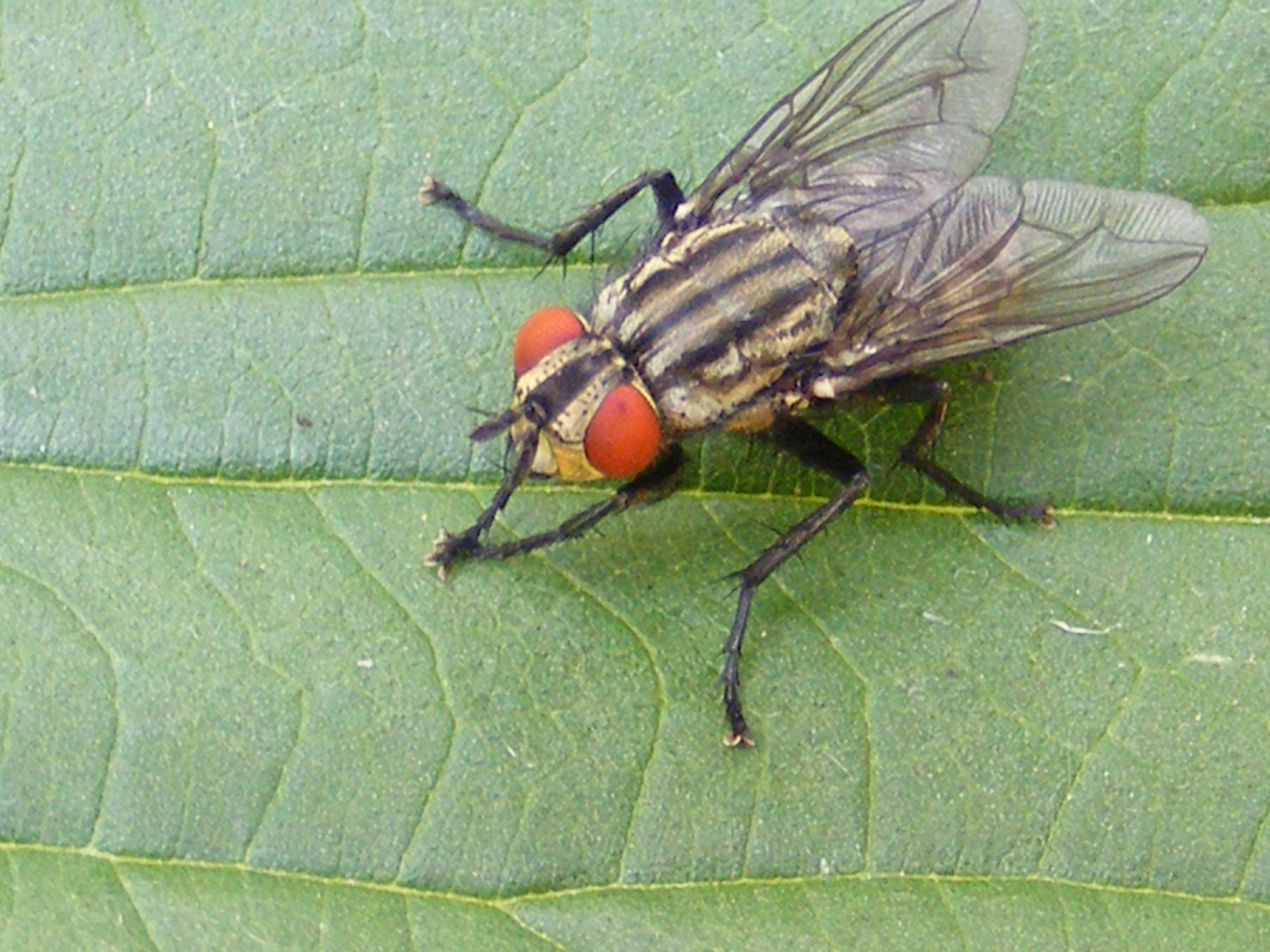 Flying Insects of Michigan http://thelifeofyourtime.wordpress.com/2012/07/06/random-insect-flesh-fly/