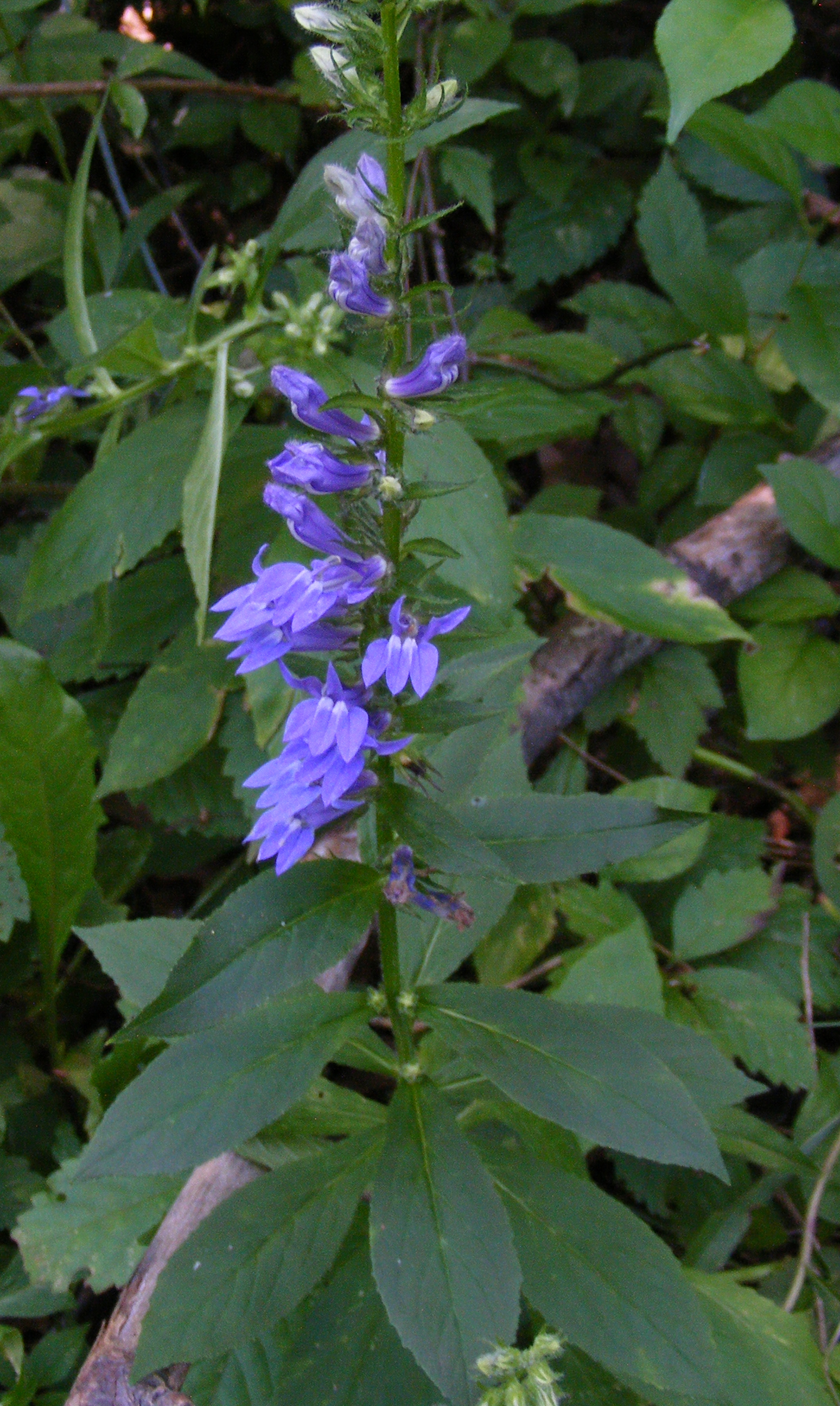 Random Plant Great Blue Lobelia The Life Of Your Time