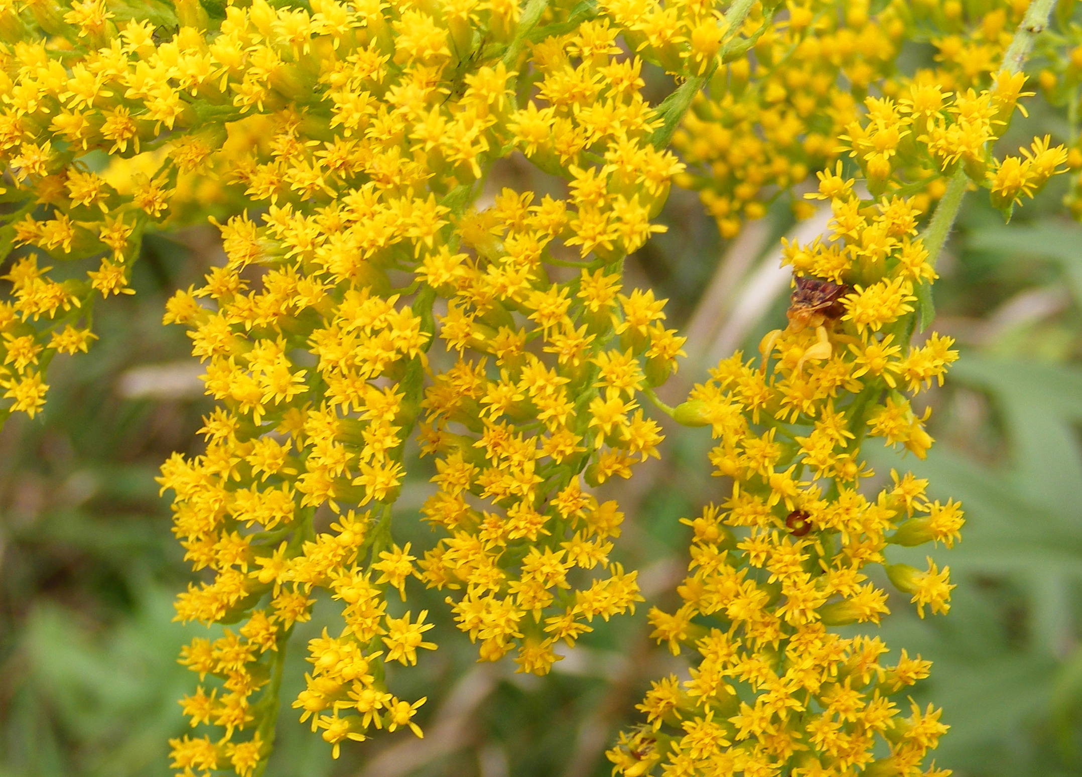 Plant Insect Interaction Jagged ambush bugs on goldenrod