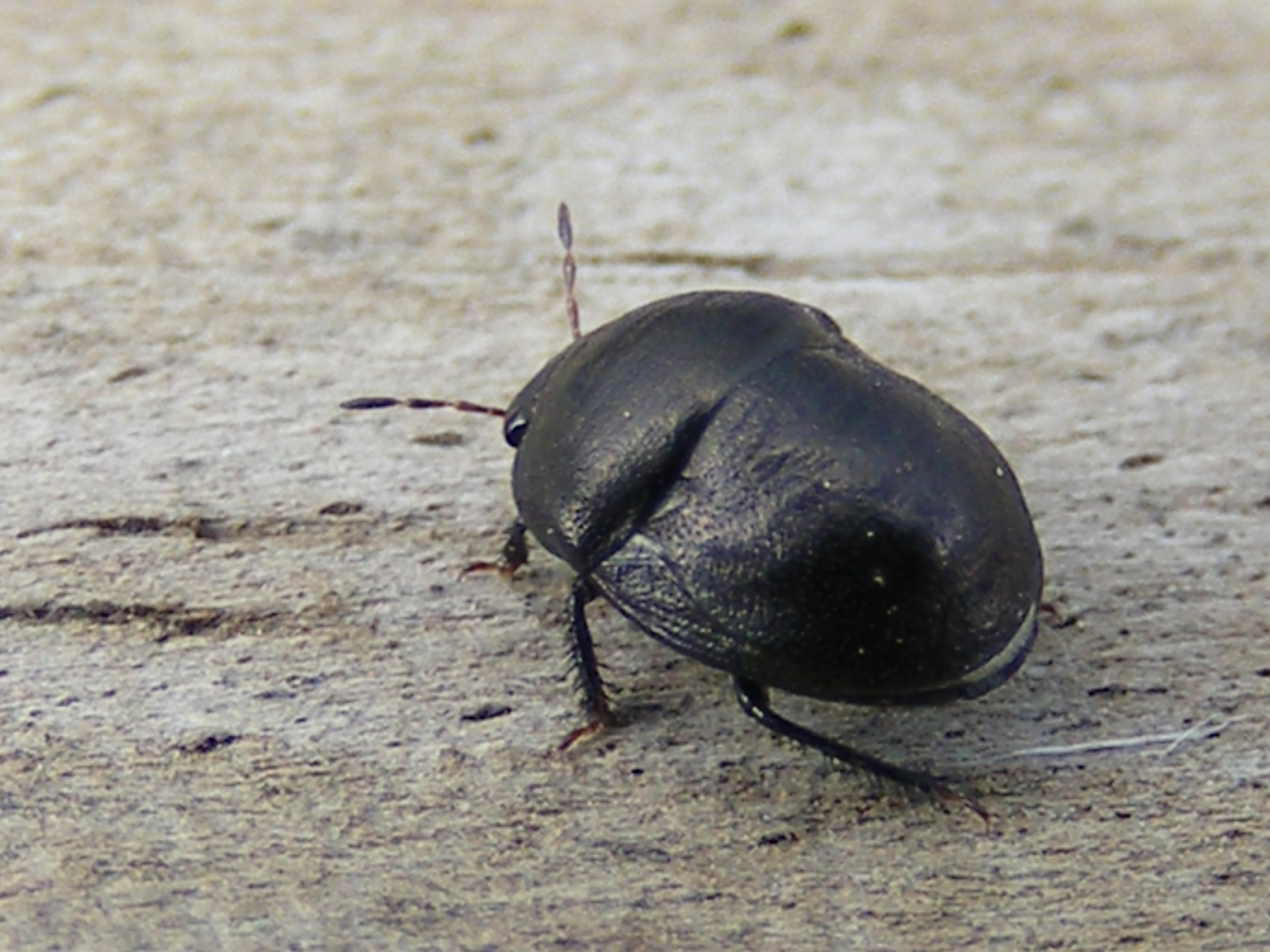 Black. Random Insect  Black bug   The Life of Your Time