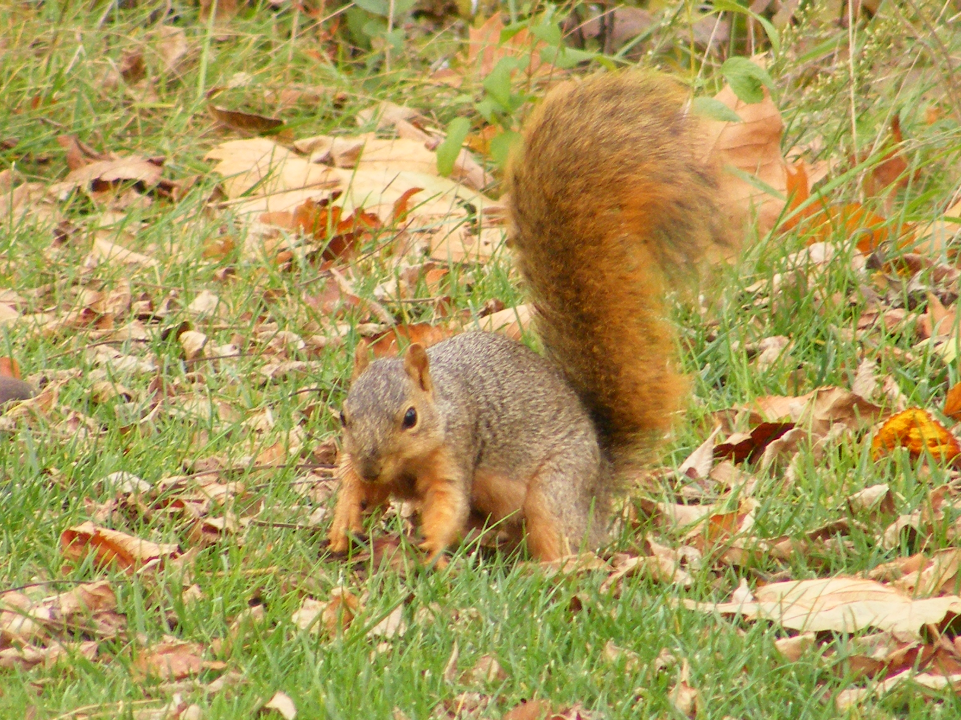 Foraging fox squirrels | The Life of Your Time