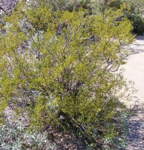 saguaro6