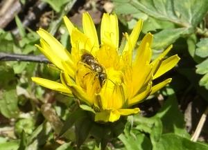 dandelionbee1