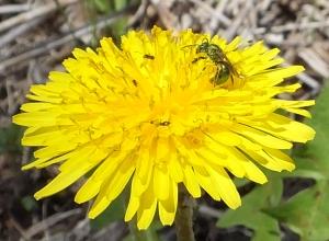 dandelionbee2