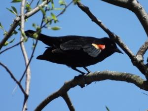 redwingblackbird1