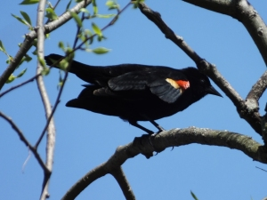 Red-winged Blackbird (Passeriformes: Icteridae: Agelaius phoeniceus
