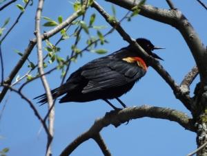 redwingblackbird3