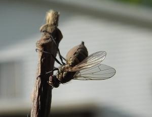 fungusfly1