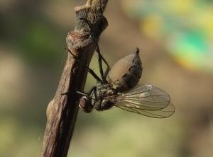 fungusfly2