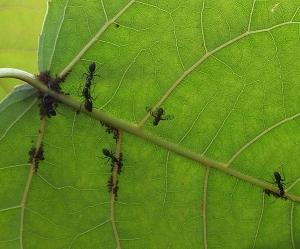 aphidsantsflies