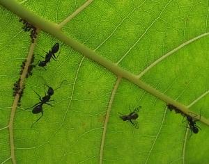 aphidsantsflies2