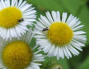 minutepiratebugs