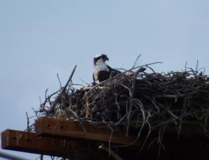 lakegranbyosprey
