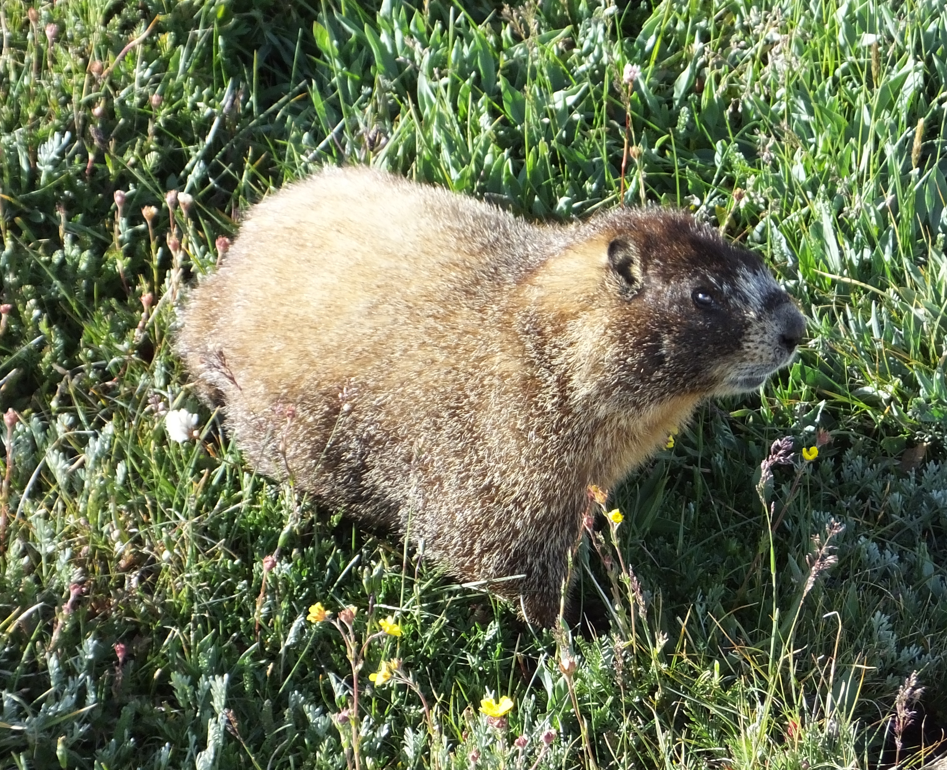 Yellow-bellied marmot   The Life of Your Time
