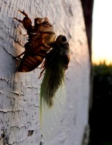 cicadasunset