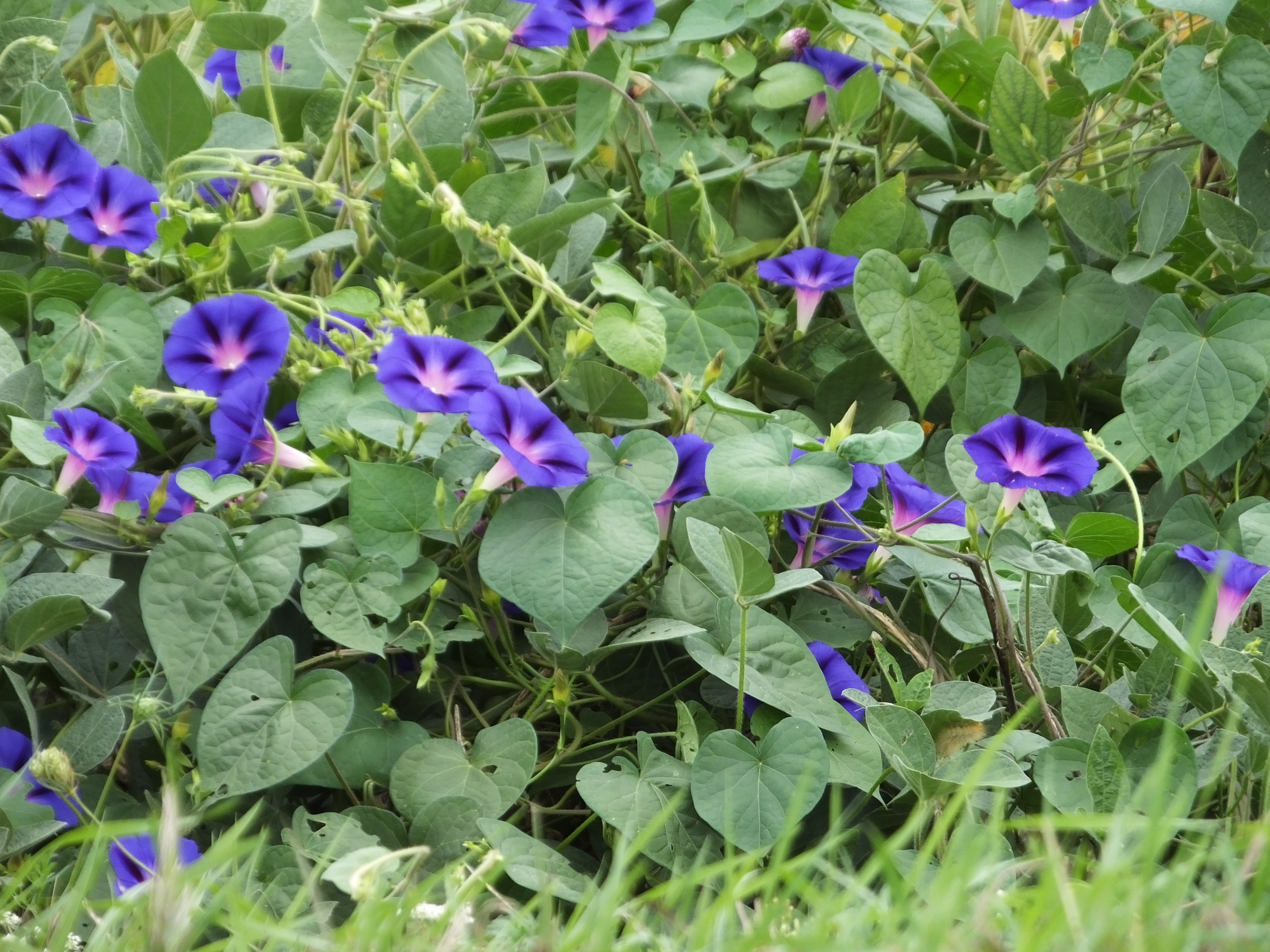 Random plant tall morning glory the life of your time for Ipomea purpurea