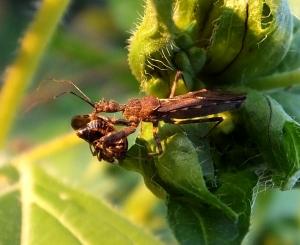 spinyassassinbug