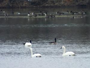 swansgeese7