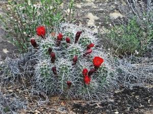 xcactus