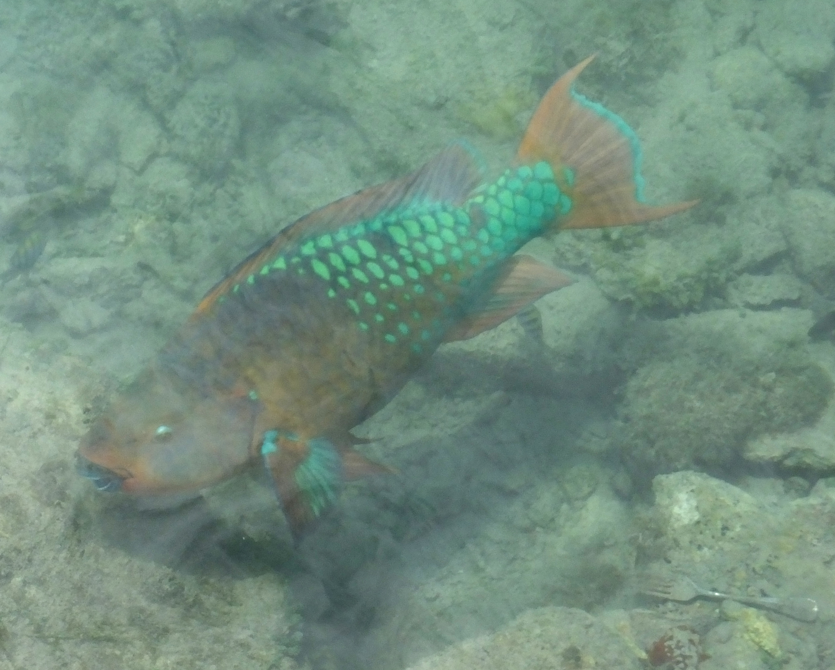 Rainbow parrotfish the life of your time for Rainbow parrot fish