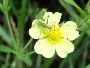 katydidcinquefoil