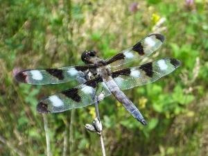 twelvespottedskimmer