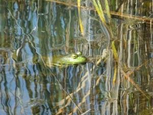 americanbullfrog