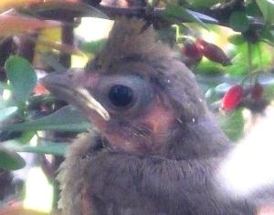 cardinalfledgling