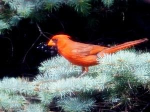 cardinalmale