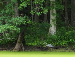 greatblueheron4