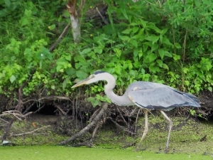 greatblueheron5
