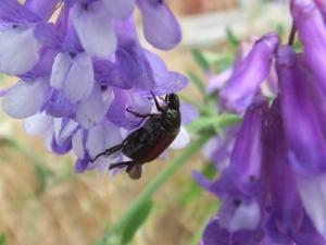 japanesebeetlehairyvetch