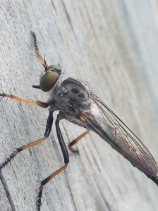 robberfly2